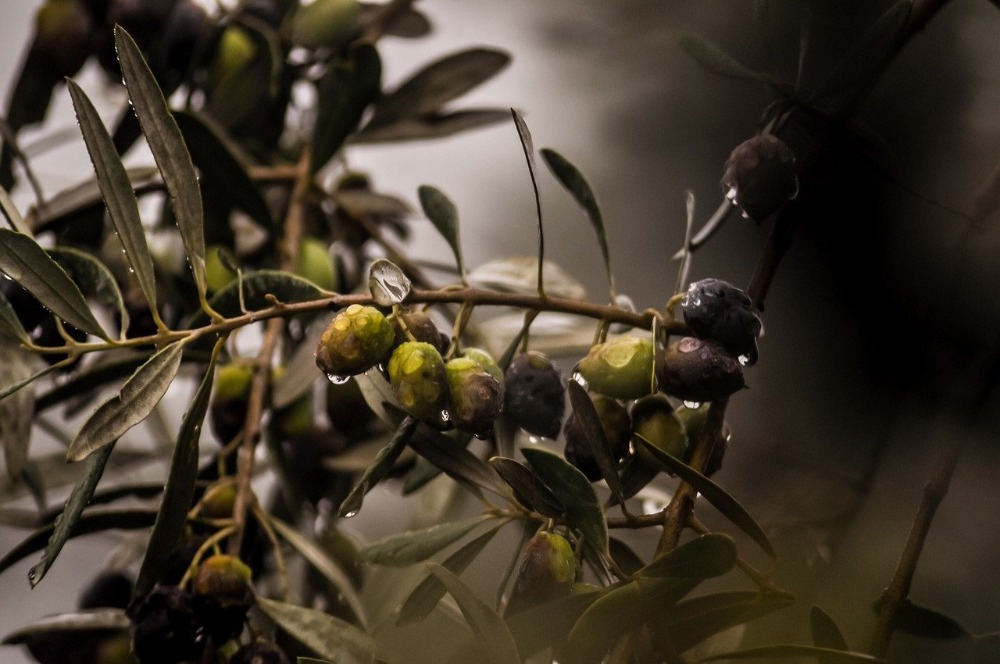 Image for article Nothing wrong with being olive